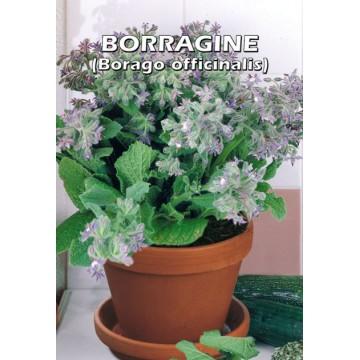 Borragine