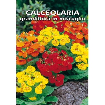 Calceolaria Grandiflora in...