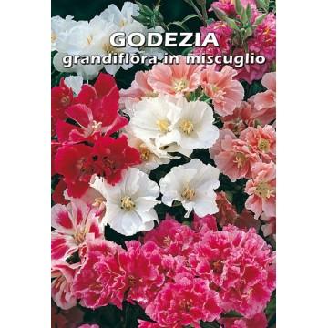 Godezia Grandiflora in...