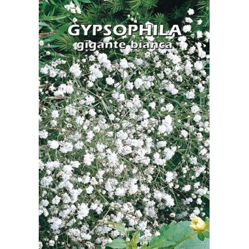 Gypsophila Gigante Bianca