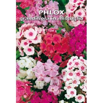 Phlox Grandiflora Nano in...