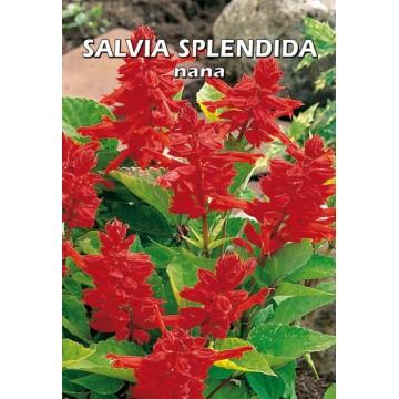 Salvia Splendida Nana