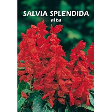 Salvia Splendida Alta