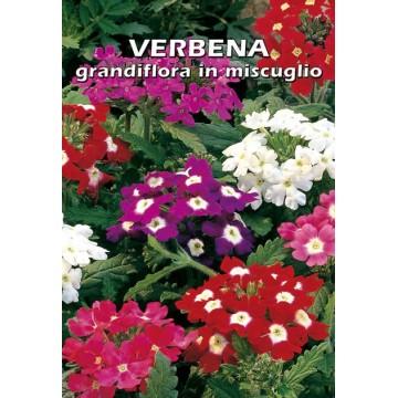 Verbena Grandifora in...