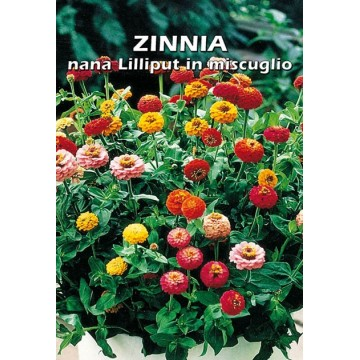 Zinnia Nana Lilliput in...