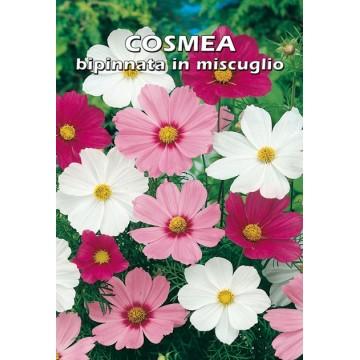 Cosmos Cosmea Bipinnata in...