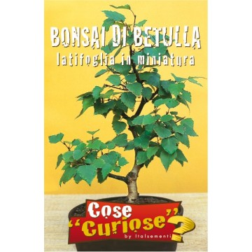 Bonsai di Betulla