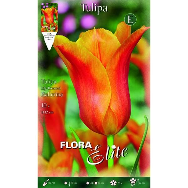 Tulipano Lily-Flowered Ballerina