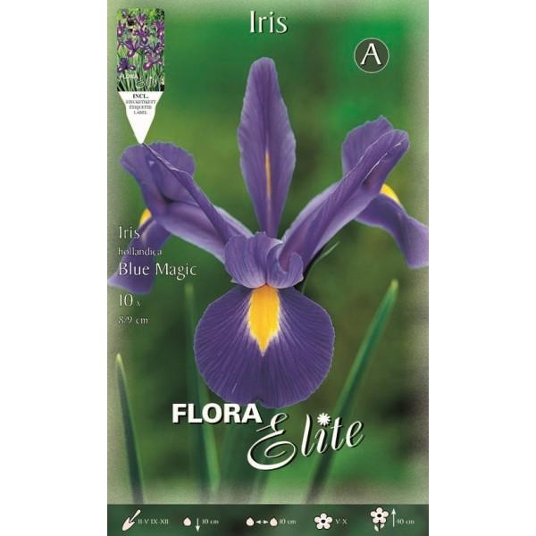 Iris Dutch Blue Magic