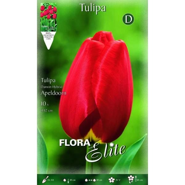 Tulipano Darwin Hybrid Apeldoorn