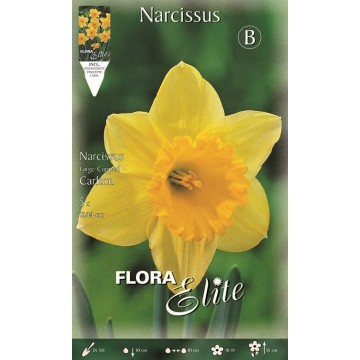 Narciso Large-cupped Carlton