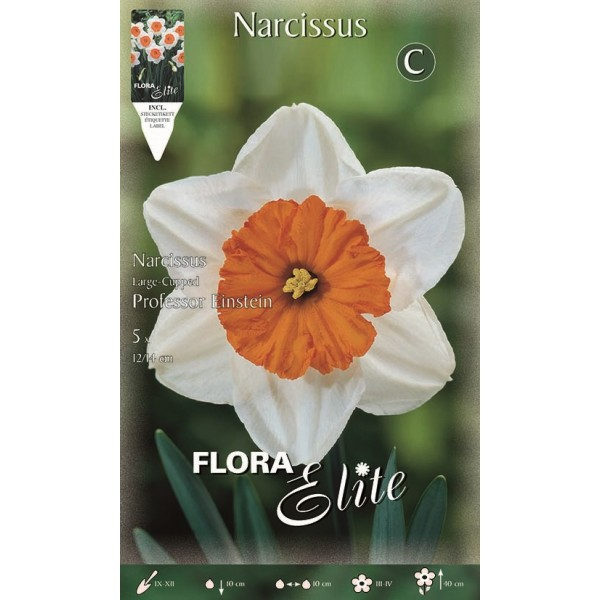 Narciso Large-cupped Professor Einstein