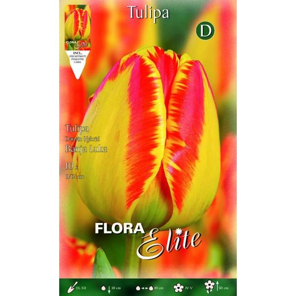 Tulipano Darwin Hybrid Banja Luka