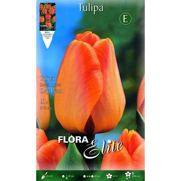 Tulipano Darwin Hybrid Daydream