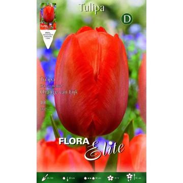 Tulipano Darwin Hybrid Orange van Eijk