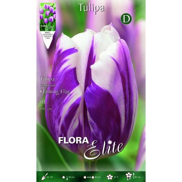 Tulipano Rembrandt Flaming Flag
