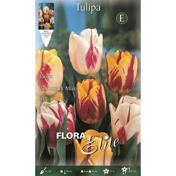 Tulipano Rembrandt Mixed