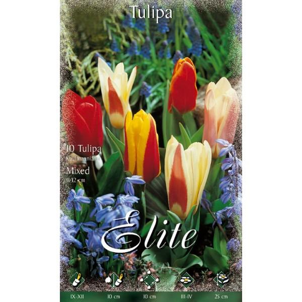 Tulipano Nano Kaufmanniana Mixed