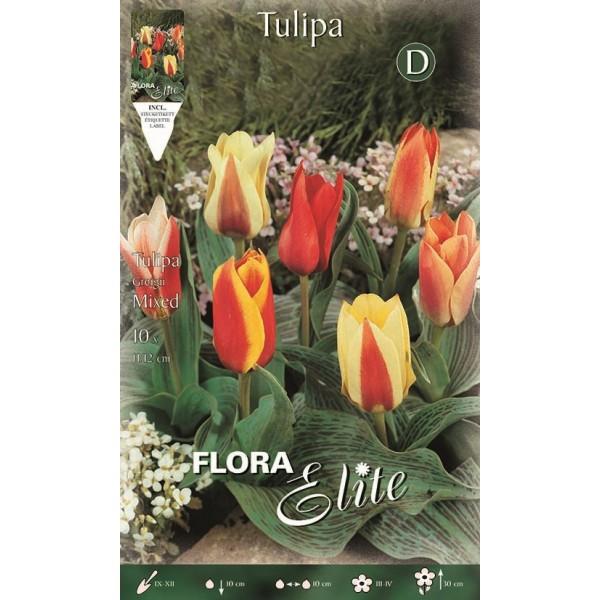 Tulipano Nano Greigii Mixed