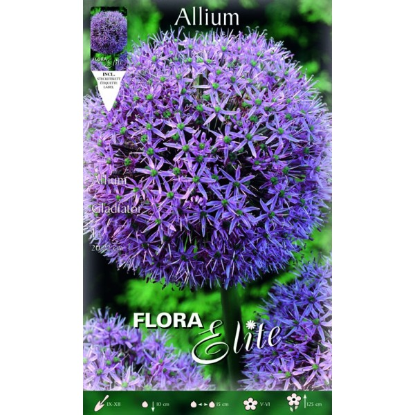 Allium Gigante Gladiator