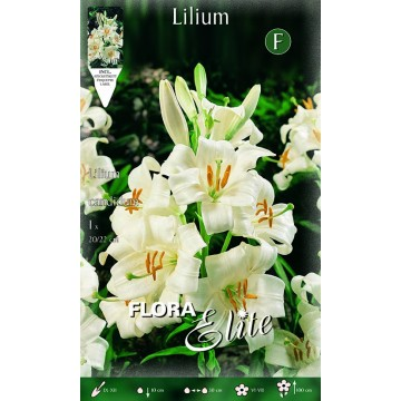 Lilium Candidum Giglio di Sant' Antonio