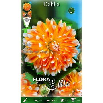 Dhalia Peach and Cream