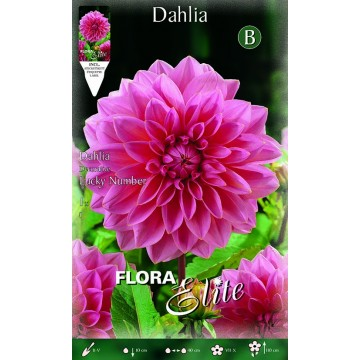 Dhalia Lucky Number
