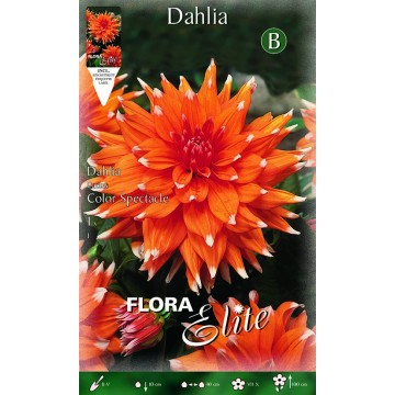 Dhalia Color Spectacle