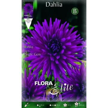Dhalia Purple Gem