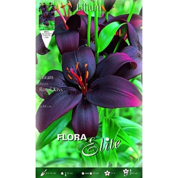 Lilium Asiatico Royal Kiss
