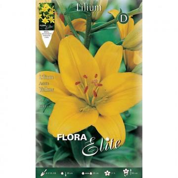Lilium Asiatico Giallo