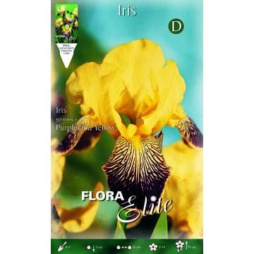 Iris Giaggiolo Viola-Giallo