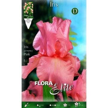Iris Giaggiolo Rosa