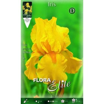 Iris Giaggiolo Giallo